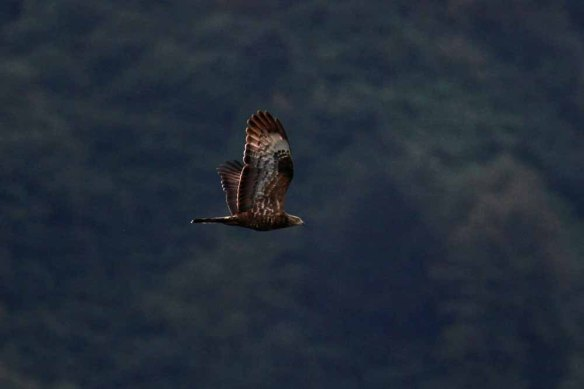 Honey Buzzard (301)