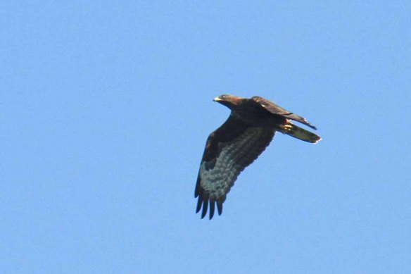 Honey Buzzard (4)