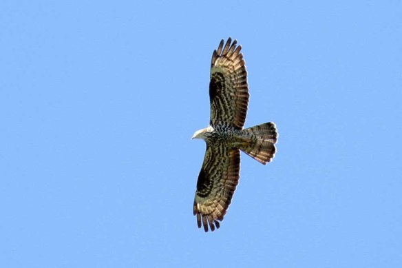 Honey Buzzard (69)