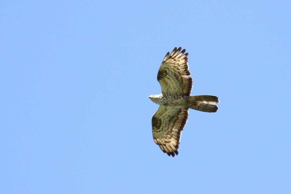 Honey Buzzard (74)