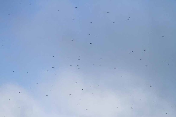 Incoming raptors