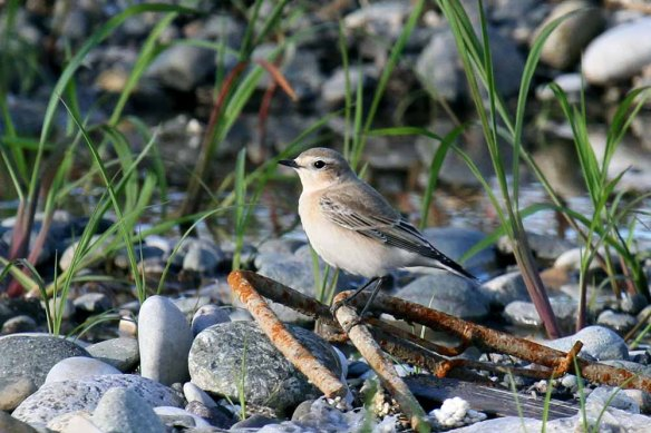 Northern Wheatear (5)
