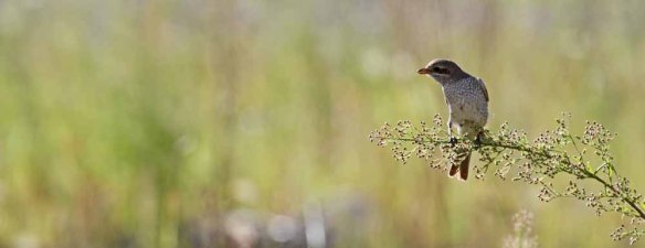 Red-backed Shrike (1)