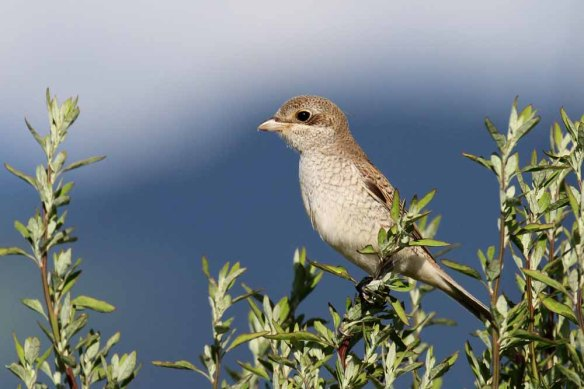 Red-backed Shrike (25)