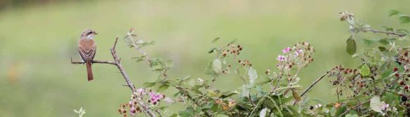 Red-backed Shrike (81)