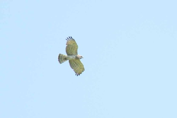 Short-toed Eagle (19)