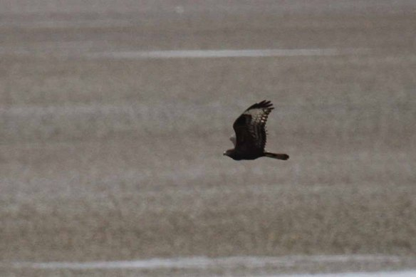 Steppe Buzzard (35)