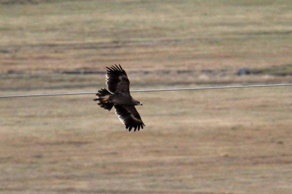 Steppe Eagle (28)