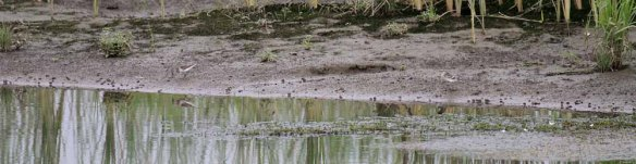Temminck's Stint and Citrine Wagtail (13)