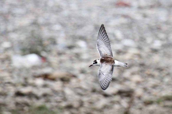 White-winged Black Tern juv