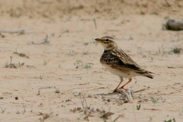 Bimaculated Lark (28)