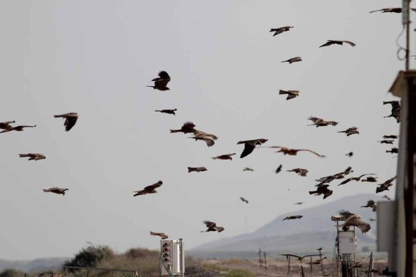 Black Kites (11)