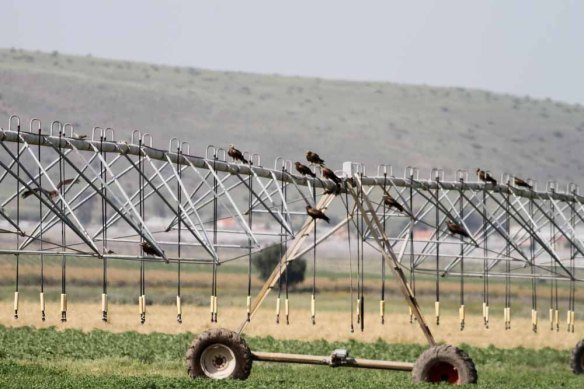Black Kites (2)