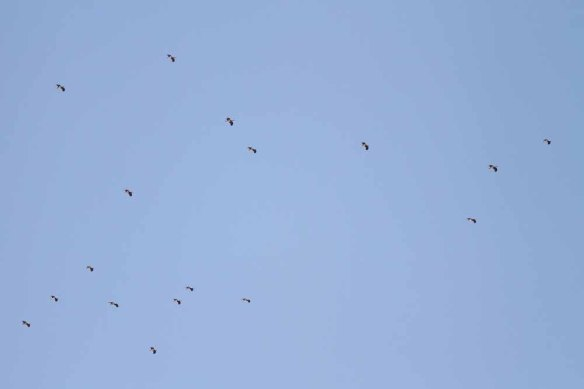 Black Stork (12)