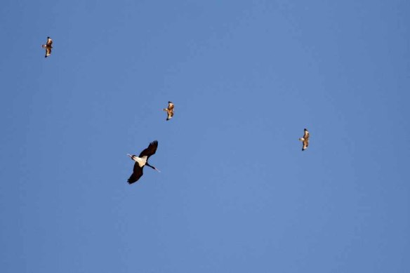 Black Stork & Steppe Buzzards (8)