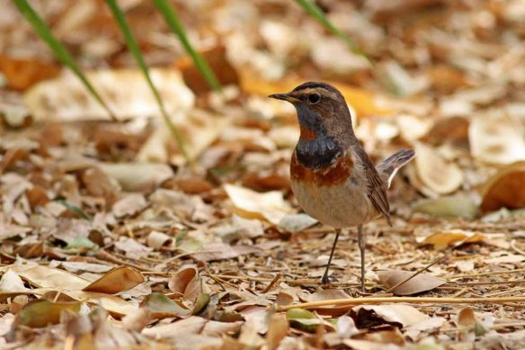 Bluethroat (68)