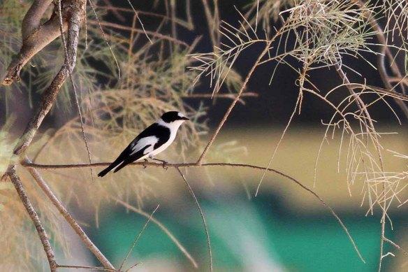 Collared Flycatcher (18)