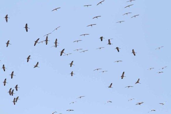 Common Cranes (39)