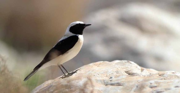 Eastern Black-eared Wheatear (1)