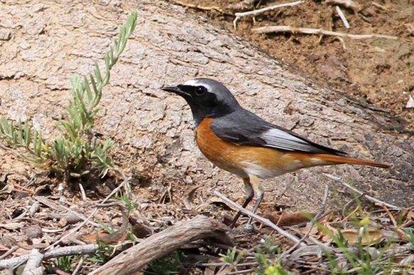 Ehrenburg's Redstart (8)