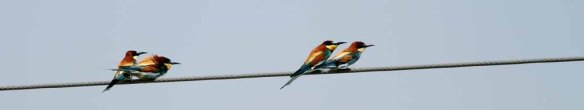 European Bee-eater (5)