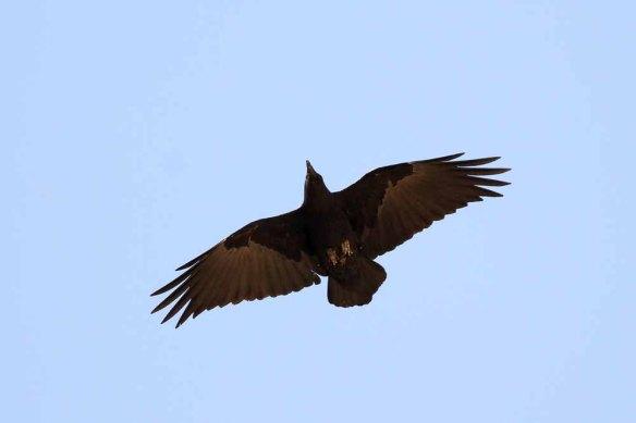 Fan-tailed Raven (63)