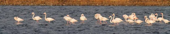 Greater Flamingo (17)