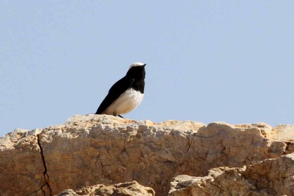 Hooded Wheatear (1)
