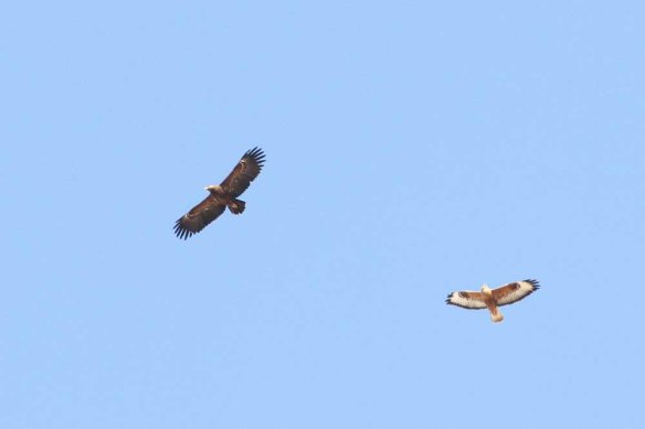 Lesser Spotted Eagle & Steppe Buzzards (5)