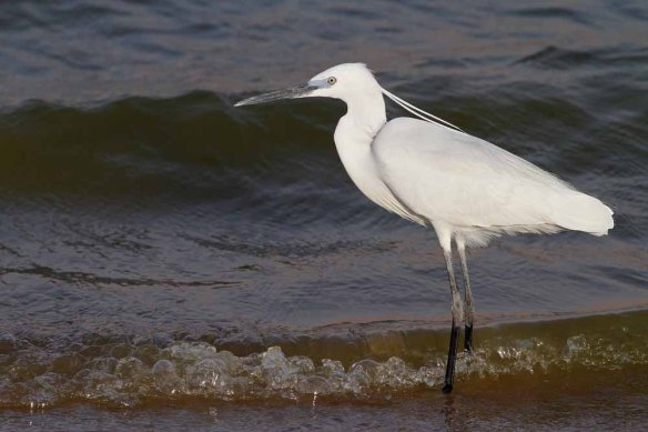Little Egret (20)