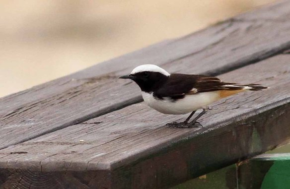 Mourning Wheatear (11)