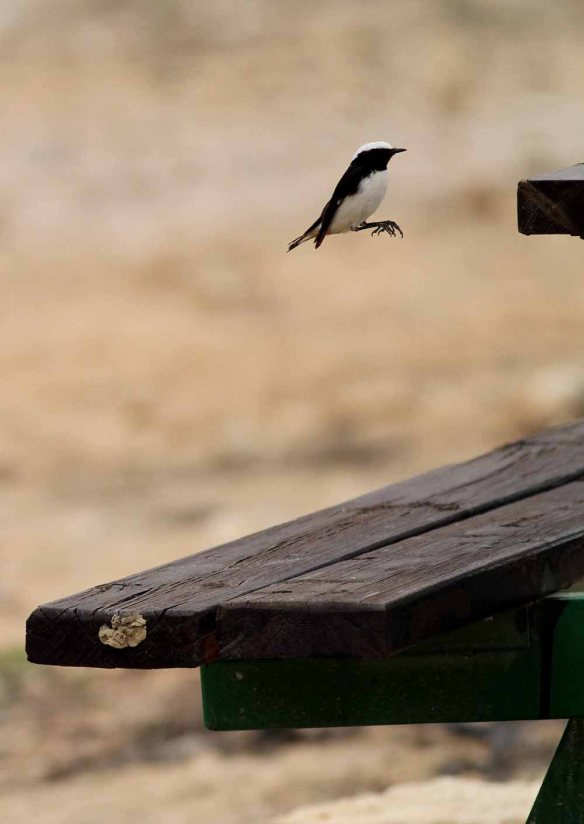 Mourning Wheatear (14)