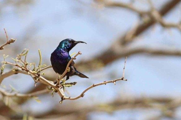 Palestine Sunbird (42)