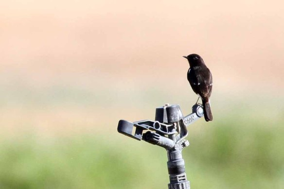 Pied Bush Chat (61)