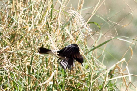 Pied Bush Chat (81)