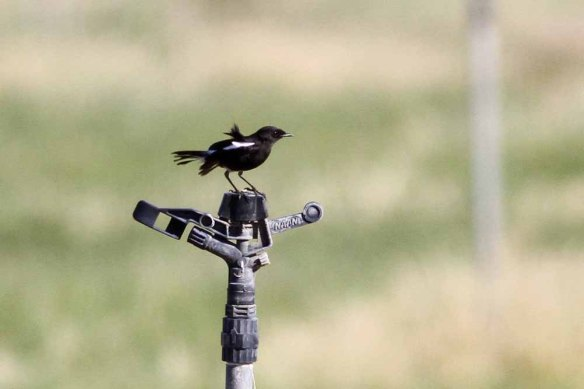 Pied Bush Chat (94)