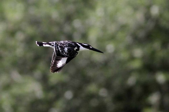 Pied Kingfisher (13)