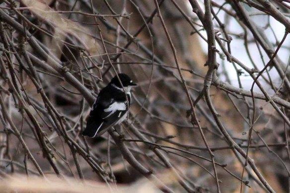 Semi-collared Flycatcher (1)