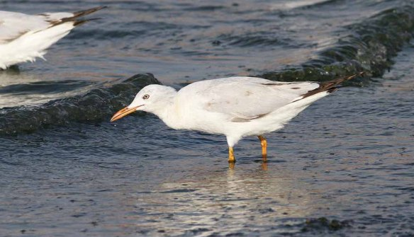 Slender-billed Gull (26)