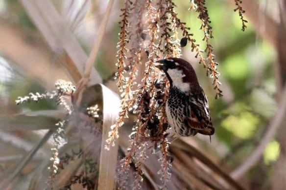 Spanish Sparrow (11)