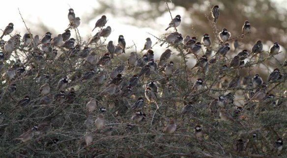Spanish Sparrows (9)