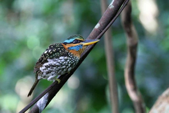 Spotted Wood Kingfisher (127)