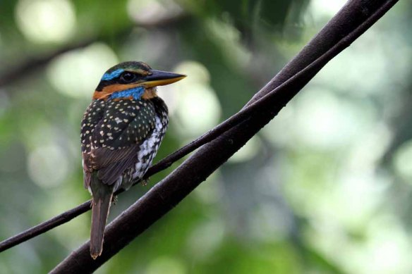 Spotted Wood Kingfisher (41)