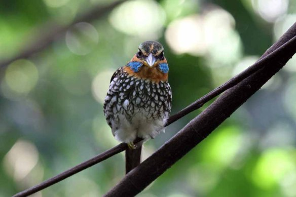 Spotted Wood Kingfisher (81)