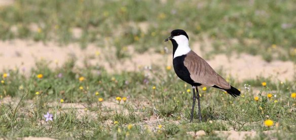 Spur-winged Plover (10)