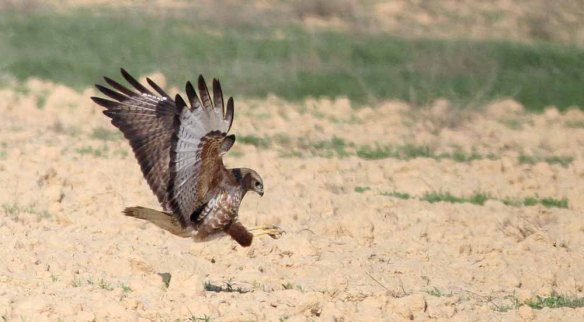 Steppe Buzzard (40)