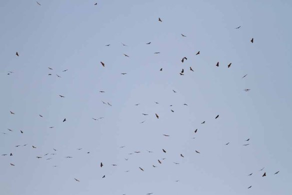Steppe Buzzards (92)