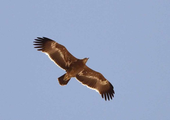 Steppe Eagle (38)