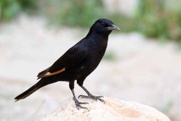 Tristram's Starling (138)