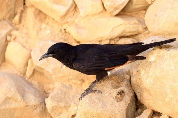 Tristram's Starling (99)
